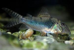 Corydoras aurofrenatus