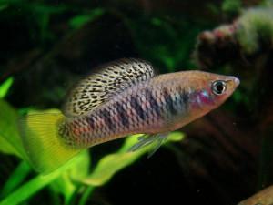 Xiphophorus birchmanni