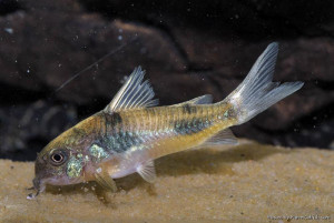 Corydoras ehrhardti