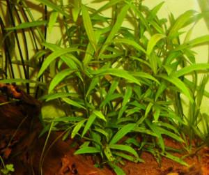 Hygrophila salicifolia