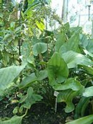 Echinodorus pelliscidus