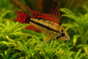 [ARTICLE] Quels poissons mettre dans un Nano-Aquarium  ? - Page 3 7305