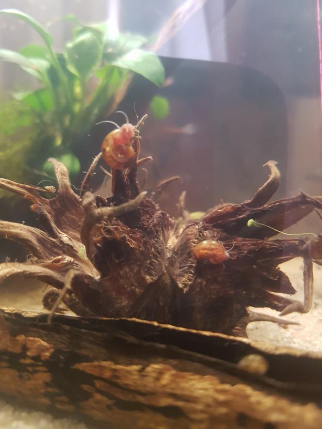 Chez les Malawas Escargots planorbes tachetés sur une coque de noix de bysance (Henxenduxe?)...  Petite malawa avec escargot...  Daphnies attirées par la lumière... :p