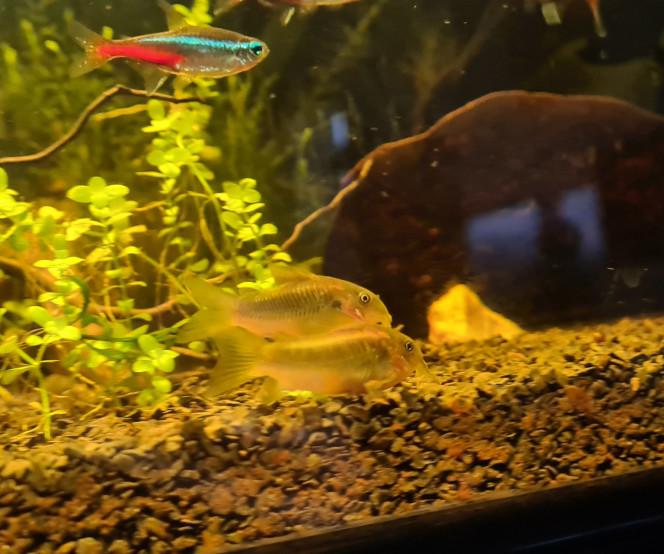 Arrivée cory Arrivé de 6 corydoras melanotaenia on va voir pour augmenter le groupe plus tard mais pour le moment ils ont l'air bien et explore l'aquarium ! Ils sont vraiment magnifiques et bien actifs ?
