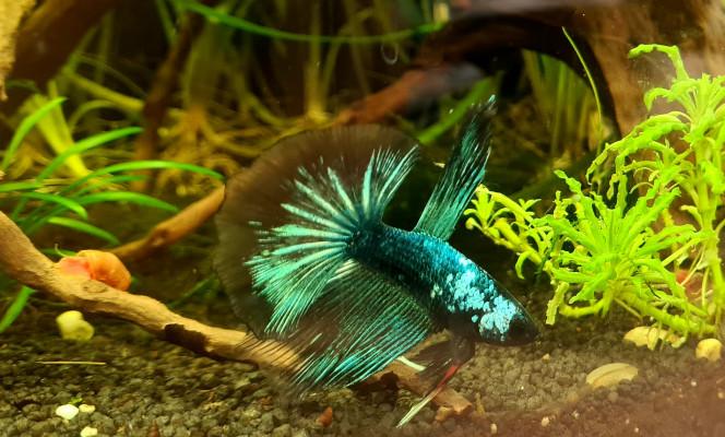 Flash notre nouveau collègue de travail Voici Flash le poisson qui vient me rejoindre pendant mes trois années de thèse au bureau !  Je suis ravie de l'observer pendant mes réflexions ??
