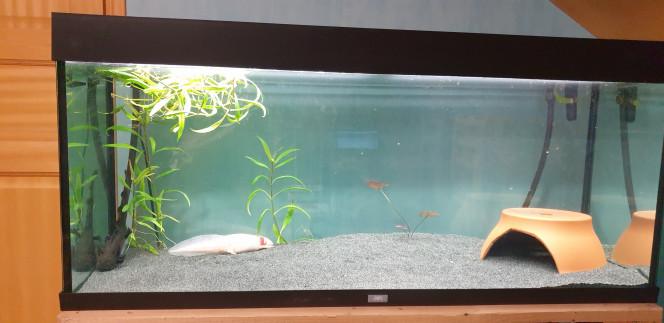 Aquarium 3 axolotls Voila la photo de mon nouvel aquarium spécifiques à axolotls, je l'ai changé pour qu'ils aient plus grand je n'ai malheureusement pas pus récupérer de plantes à cause d'algues pinceau et ils ont retourne le peux de celles que j'avais mis . Des idées de décor que je puisse mettre  qui ne soient pas nuisible aux axos ?