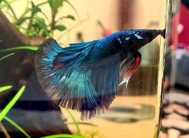 Upgrade Flash Flash devient de plus en plus beau et commence à révéler du rouge ça le rend vraiment beau! Je suis en admiration au quotidien devant ce poisson ! ??