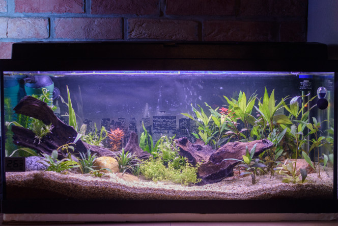 L' aquarium 85 litres jour 14 , cycle de l'azote. Le bac prend forme doucement . Cycle de l'azote jour 14. je pence qu' il est suffisamment planté.  Les plantes ce porte bien , pas de problème de carence. Quelques escargots apparaisse . Quelques petite algues son visible sur les pierres de décoration . Ajout un jour sur deux . Easycarbo (EASY-LIFE) liquide 20ml pour les plantes.
