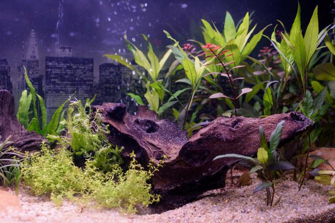 L' aquarium 85 litres jour 14 , cycle de l'azote.