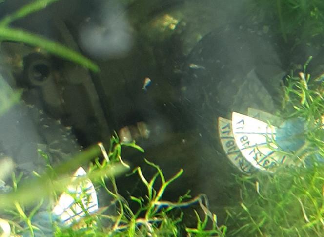 Bac hopital : 3ème ponte... ça nage librement... ... et ça grossit ! Pour preuve, le grossissement e Montel est moins fort... jarrive même à les voir à l'œil nu.. Environ une dizaine, qui se baladent vivement, sûrement à la recherche de micro nourriture sur les les vitres ou les plantes... Ce soir je tente les artemias...