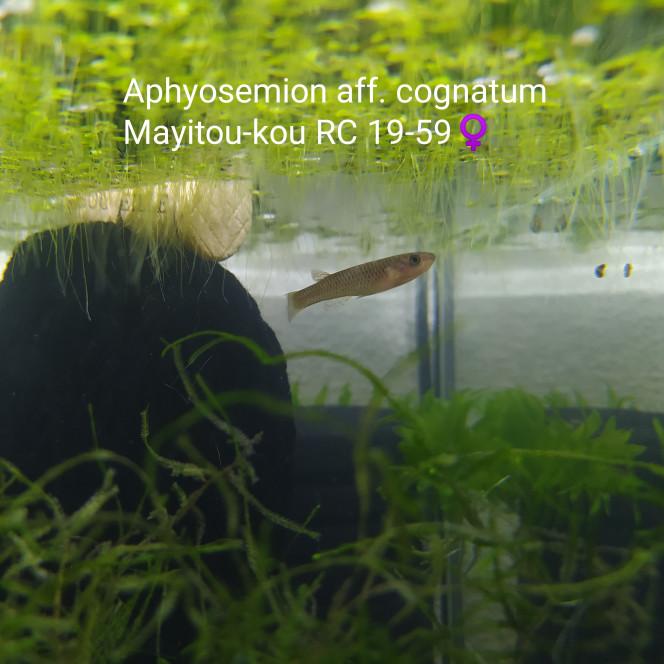 010 Aphyosemion aff. cognatum Mayitou-kou RC 19-59 ♀️