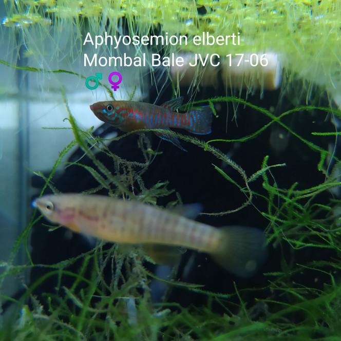011 Aphyosemion elberti Mombal Bale JVC 17-06 ♂️♀️
