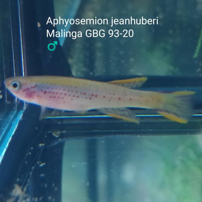 012 Aphyosemion jeanhuberi Malinga GBG 93-20 ♂️