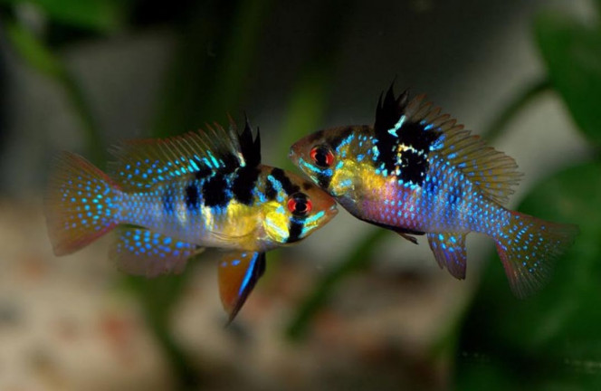 Juwel rio 180 Trop beau je kif pour cette espèce déjà 1 male et deux femelles dans mon bac les couleurs sont magnifiques