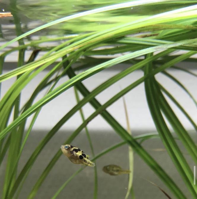 Carinotetraodon travancoricus Les petits nouveaux