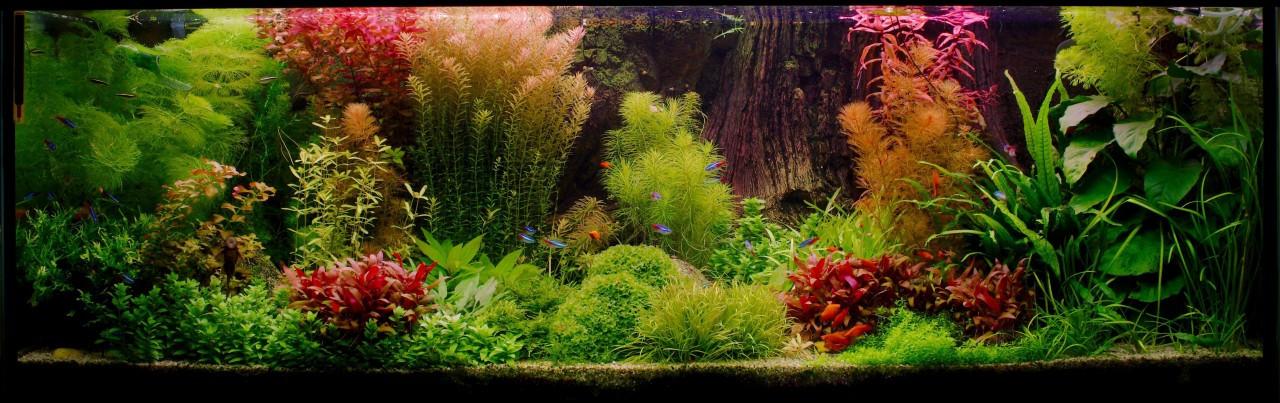 aquascaping contraste plantes