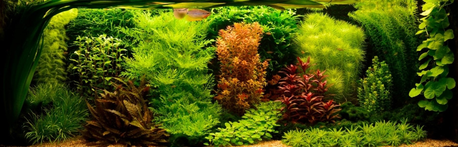 aquascaping style hollandais