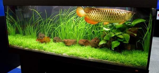aquarium arowana