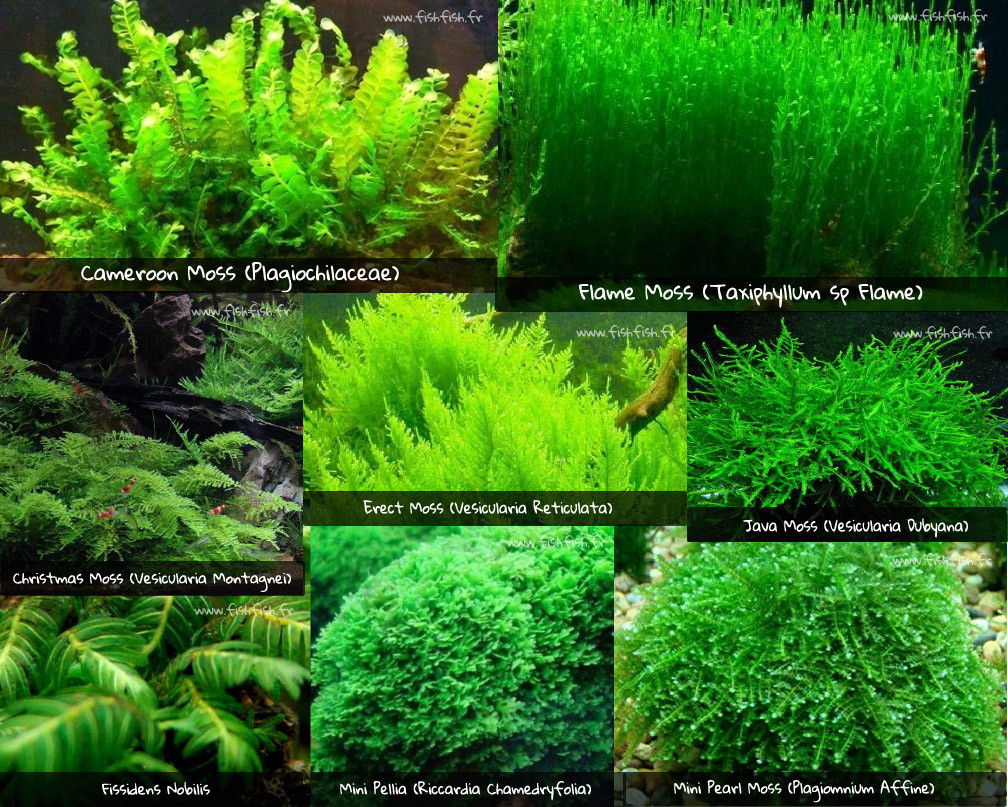 Mousses aquarium cameroon moss flame moss christmas moss erect moss java moss mousse de java