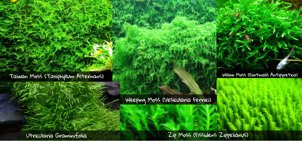 Mousses aquarium taiwan moss utricularia zip moss weeping moss willow moss spiky moss