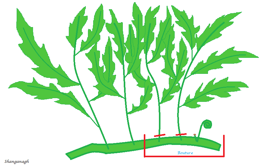 tailler plante aquarium tige