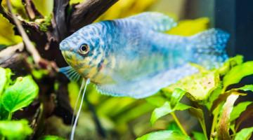 Acheter des poissons tropicaux d'aquarium en ligne