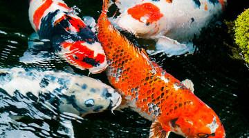 Acheter des poissons pour son bassin en ligne