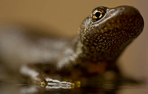 Achat en ligne Amphibiens & Urodeles