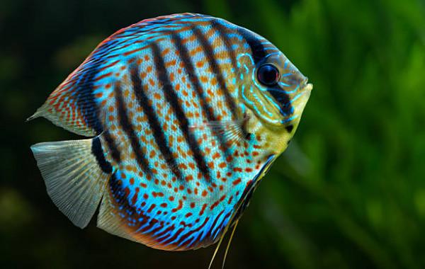Acheter discus pour peupler son aquarium