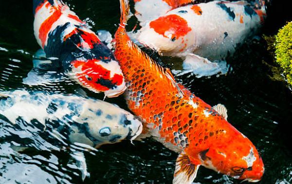 Acheter poissons d'eau douce froide pas cher sur la boutique en ligne