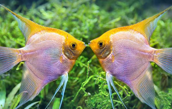 Acheter scalaires pour peupler son aquarium