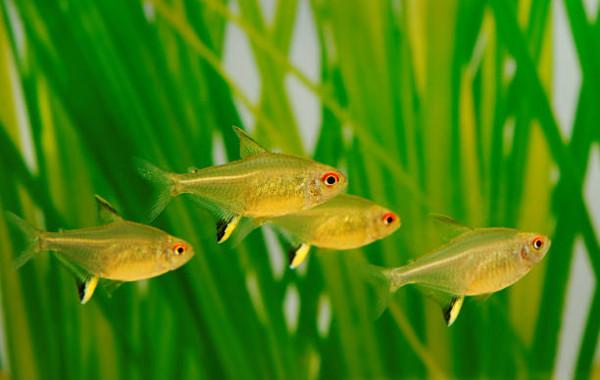 Achat en ligne Tetras et poissons de bancs
