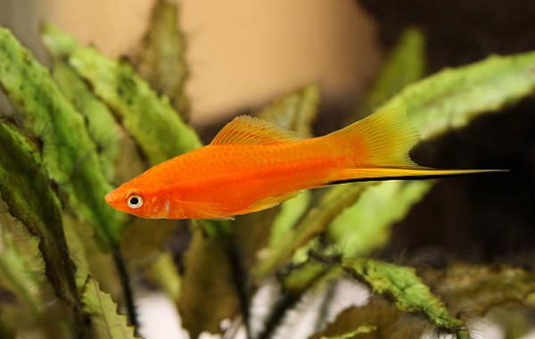 Acheter xiphos pour peupler son aquarium