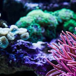 Acheter coraux pas cher