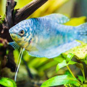 Acheter poissons d'eau douce chaude pas cher