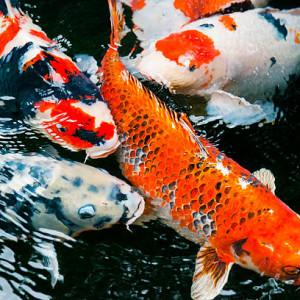 Acheter poissons d'eau douce froide pas cher