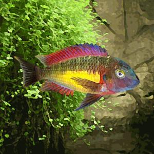 Tropheus moorii red rainbow kambwimba (environ 4 cm)