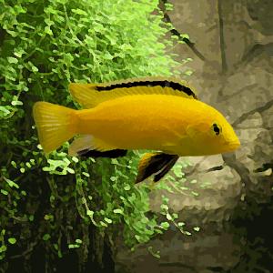 Labidochromis yellow kakusa (environ 5 cm)