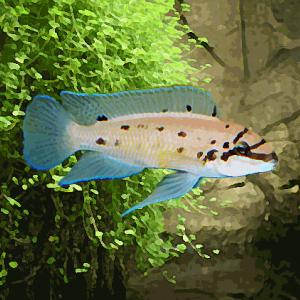 Chalinochromis sp. ndobhoi (4 à 6 cm)