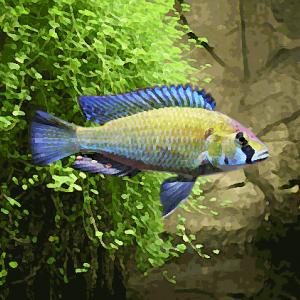 Haplochromis astatotilapia burtoni (environ 5 cm)