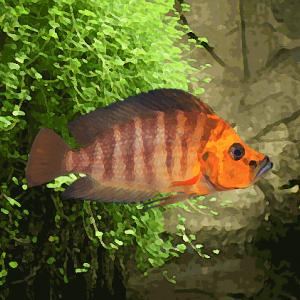 Altolamprologus compressiceps orange kigoma (environ 5 cm)