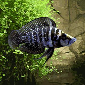 Altolamprologus calvus black pearl (environ 4 cm)