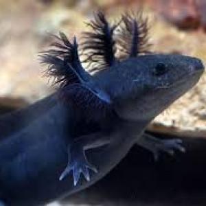 recherche d'axolotl mélanique noir