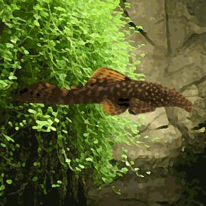 Ancistrus elevage (environ 5 cm)