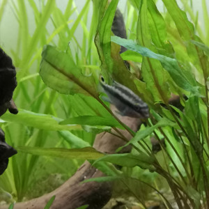 Dons jeunes pelmato (Pelvicachromis pulcher)