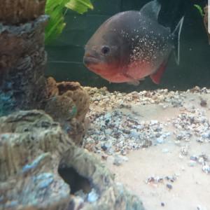 Piranha pygocentrus/ serassalmus nattereri