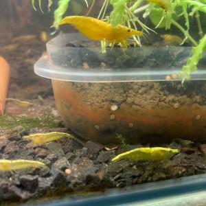 Crevettes jaunes