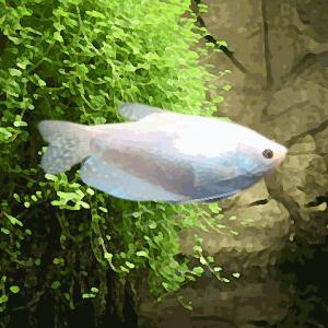 Gourami blanc (environ 5 cm)