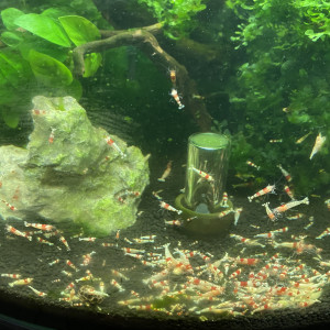 Crevette Caridina cf. Cantonensis Crystal Red Shrimp (CRS)