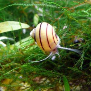Escargots Asolene Spixii